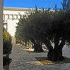 Courtyard with Olive trees.
