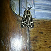 Critters - Moth with Interesting Markings on Door