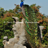 This image is of a male Indian Peacock (the same peacock as in the previous image) proudly displaying his stunning tail feathers. This male was photographed at the LA Arboretum during late Spring.
