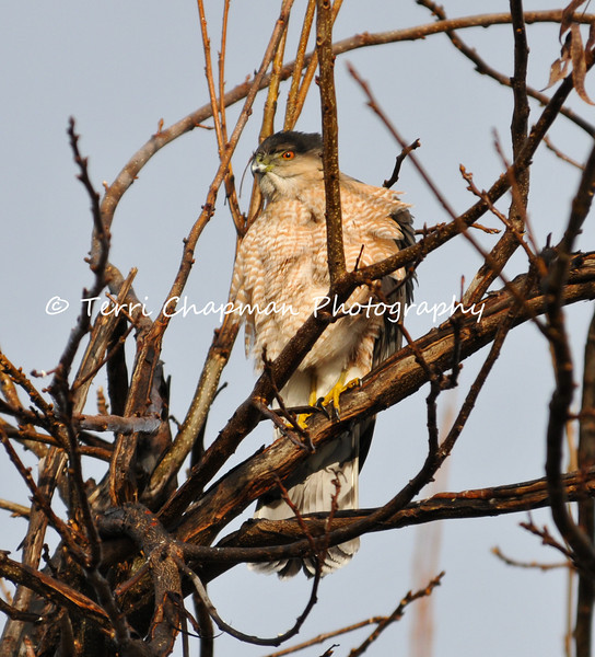 This image is of an adult Cooper's Hawk perched in the Pistachio Tree in my backyard. The Cooper's Hawk and its closely related accipiter cousin, the Sharp-Shinned Hawk, can be one of the most difficult birds of prey to identify. Swift and agile, and among the bird world's most skillful fliers, this raptor is a cunning predator that can be found not only in forested areas, but also in backyards, looking for an easy meal at bird feeders.