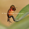 This image is of a male Rufous Hummingbird perched on the tip of an Aloe leaf. The Rufous Hummingbird is the feistiest hummingbird in North America. The brilliant orange male and the green-and-orange female Rufous Hummingbird are relentless attackers at flowers and feeders, going after (if not always defeating) even the large hummingbirds of the Southwest, which can be double their weight. Rufous Hummingbirds are wide-ranging, and breed farther north than any other hummingbird. Look for them in spring in California (where this image was taken), summer in the Pacific Northwest and Alaska, and fall in the Rocky Mountains as they make their annual circuit of the West.