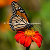"This photograph, of a Monarch Butterfly sipping nectar from a Mexican Sunflower bloom, was featured in the January 2014 issue of  ""Birds & Blooms"" magazine because it was a top finalist in the magazine's nature photo contest.<br /> <br /> The iconic Monarch -- known as a familiar backyard beauty across the United States -- was once one of the most common butterflies of North America, noted for its spectacular multigenerational migration each year from Mexico to Canada and back. But in the past 20 years the Monarch population has declined by 90 percent. That's largely due to the widespread planting of genetically engineered crops in the Midwest (where most Monarchs are born) and the use there of Monsanto's Roundup herbicide, a potent killer of milkweed, the Monarch caterpillar's ONLY food.<br /> <br /> With the Monarch butterfly numbers at an all time low, the Monarch has cleared its first hurdle toward Endangered Species Act protection. In response to a summer 2014 petition by the Center and allies, the U.S. Fish and Wildlife Service has declared that safeguards may be warranted, and the agency is now embarking on a one-year review of the species' status.<br /> <br /> Habitat must be protected now, before we see the day when this miracle of nature is only a memory. So, will you plant Milkweed in your garden to help the Monarch survive? Planting new habitat will not only help butterflies around your home but will help butterflies reach others who without your assistance would not see a Monarch. One seed can change the world, but you have to plant it. Thank you for making a difference!"