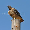 This image is of a Red-tailed Hawk perched on top of a telephone poll and watching a group of small birds flying in the area. I love the one feather that is sticking out on the top of his head. The Red-tailed Hawk is a bird of open country. Look for it along fields and perched on telephones poles, fenceposts, or trees standing alone or along edges of fields as it searches for the movements of a rodent or a rabbit.