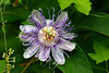 Maypop/purple passionflower (Passiflora incarnata)