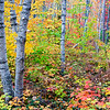 Birch forest, Pictured Rocks National Lakeshore, Alger County, Michigan