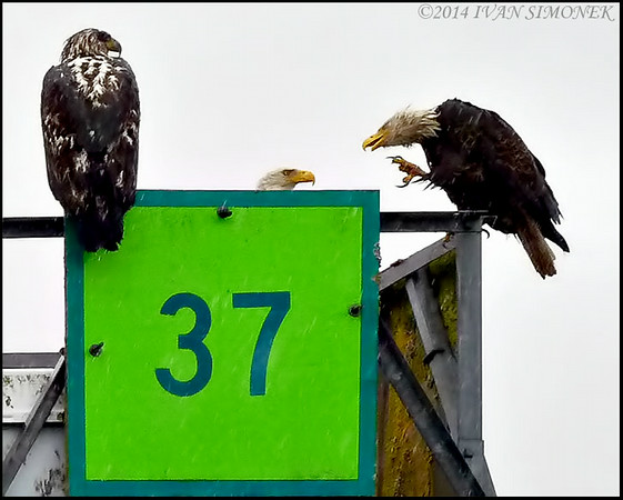 """I AM JUST SAYING...1"",Bald eagles,Wrangell Narrows,Alaska,USA."