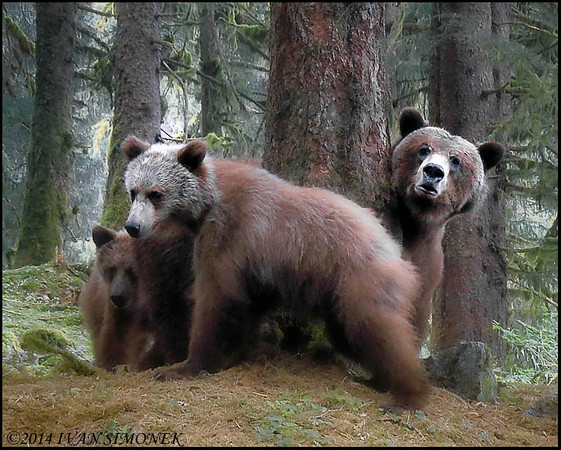 """WHO GOES?"",Brown bears,Anan ,Alaska,USA."