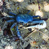 Blue Crab on the horse trail