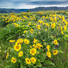 Balsamroot in the Gorge
