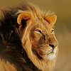 Portrait of a big male African lion (Panthera leo), Kalahari, South Africa