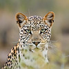 Portrait of a leopard (Panthera pardus), Kalahari desert, South Africa