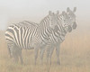 This photograph of 3 Zebras was captured within Ol Pejeta Conservancy Park in Kenya, Africa (3/13).   This photograph is protected by the U.S. Copyright Laws and shall not to be downloaded or reproduced by any means without the formal written permission of Ken Conger Photography.
