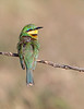 "This photograph of a Little Bee-eater was captured within the Maasai Mara National Park in Kenya, Africa (3/13).   <FONT COLOR=""RED""><h5>This photograph is protected by the U.S. Copyright Laws and shall not to be downloaded or reproduced by any means without the formal written permission of Ken Conger Photography.<FONT COLOR=""RED""></h5>"