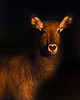 "This night photograph of a female Waterbuck was captured within Ol Pejeta Conservancy Park in Kenya, Africa (3/13).   <FONT COLOR=""RED""><h5>This photograph is protected by the U.S. Copyright Laws and shall not to be downloaded or reproduced by any means without the formal written permission of Ken Conger Photography.<FONT COLOR=""RED""></h5>"