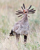 This photograph of a Secretary Bird was captured within  Maasai Mara National Park in Kenya, Africa (3/13).   This photograph is protected by the U.S. Copyright Laws and shall not to be downloaded or reproduced by any means without the formal written permission of Ken Conger Photography.