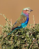 This photograph of a Lilac-breasted Roller was captured within the Maasai Mara National Park in Kenya, Africa (3/13).   This photograph is protected by the U.S. Copyright Laws and shall not to be downloaded or reproduced by any means without the formal written permission of Ken Conger Photography.
