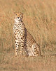 This photograph of a Cheetah was captured within  Maasai Mara National Park in Kenya, Africa (3/13).   This photograph is protected by the U.S. Copyright Laws and shall not to be downloaded or reproduced by any means without the formal written permission of Ken Conger Photography.