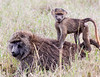 This photograph of a Baboon mother with baby riding on the back was  was captured within the Lake Nakuru National Park in Kenya, Africa (3/13).   This photograph is protected by the U.S. Copyright Laws and shall not to be downloaded or reproduced by any means without the formal written permission of Ken Conger Photography.