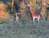 This photograph of a recently born Rothschild Giraffe (if you look closely you can see the umbilical cord on its back) was captured within Lake Nakuru National Park in Kenya, Africa (3/13).   This photograph is protected by the U.S. Copyright Laws and shall not to be downloaded or reproduced by any means without the formal written permission of Ken Conger Photography.