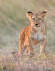 "This sunset Lion cub photograph was captured within the Maasai Mara in Kenya, Africa (3/13).   <FONT COLOR=""RED""><h5>This photograph is protected by the U.S. Copyright Laws and shall not to be downloaded or reproduced by any means without the formal written permission of Ken Conger Photography.<FONT COLOR=""RED""></h5>"