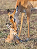 This photograph of an intimate moment between a Thomson's Gazelle mother and hours old calf Black-backed Jackals was captured within the Maasai Mara National Park in Kenya, Africa (3/13).   This photograph is protected by the U.S. Copyright Laws and shall not to be downloaded or reproduced by any means without the formal written permission of Ken Conger Photography.
