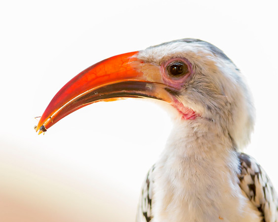 This photograph of a Red-billed Hornbill with a captured wasp was captured within Samburu National Reserve in Kenya, Africa (3/13).   This photograph is protected by the U.S. Copyright Laws and shall not to be downloaded or reproduced by any means without the formal written permission of Ken Conger Photography.