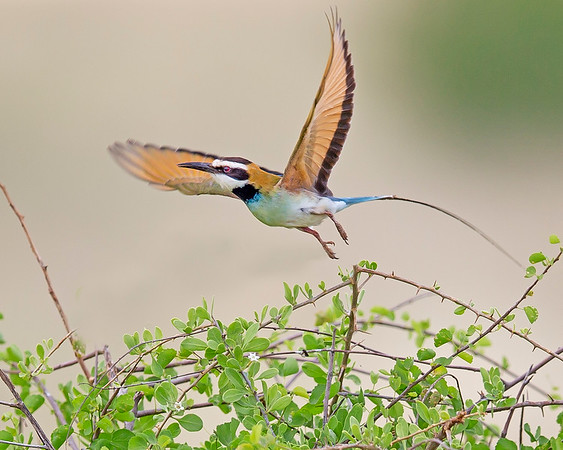 This photograph of a White-throated Bee-eater was captured within Samburu National Reserve in Kenya, Africa (3/13).   This photograph is protected by the U.S. Copyright Laws and shall not to be downloaded or reproduced by any means without the formal written permission of Ken Conger Photography.