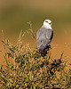 This photograph of a Black-shouldered Kite was captured within  Maasai Mara National Park in Kenya, Africa (3/13).   This photograph is protected by the U.S. Copyright Laws and shall not to be downloaded or reproduced by any means without the formal written permission of Ken Conger Photography.