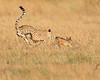 This photograph of a Cheetahs chasing a Black-backed Jackal was captured within the Maasai Mara in Kenya, Africa (3/13).   This photograph is protected by the U.S. Copyright Laws and shall not to be downloaded or reproduced by any means without the formal written permission of Ken Conger Photography.