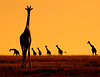 This sunrise photograph of herd of Masai Giraffes was captured within the Maasai Mara in Kenya, Africa (3/13).   This photograph is protected by the U.S. Copyright Laws and shall not to be downloaded or reproduced by any means without the formal written permission of Ken Conger Photography.