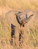 This photograph of a baby Elephant was captured within Maasai Mara National Park in Kenya, Africa (3/13).   This photograph is protected by the U.S. Copyright Laws and shall not to be downloaded or reproduced by any means without the formal written permission of Ken Conger Photography.