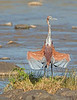 This photograph of a Goliath Heron was captured within  Maasai Mara National Park in Kenya, Africa (3/13).   This photograph is protected by the U.S. Copyright Laws and shall not to be downloaded or reproduced by any means without the formal written permission of Ken Conger Photography.