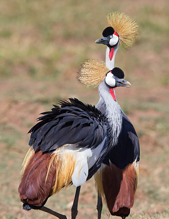This photograph of a Grey Crowned Crane was captured within the Maasai Mara National Park in Kenya, Africa (3/13).   This photograph is protected by the U.S. Copyright Laws and shall not to be downloaded or reproduced by any means without the formal written permission of Ken Conger Photography.