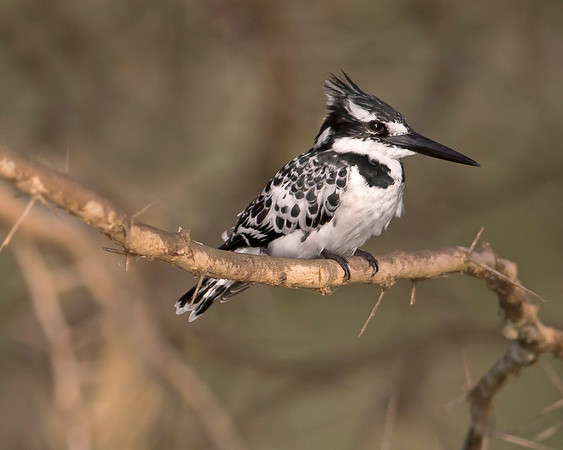 "This photograph of Pied Kingfisher was captured within Lake Naivisha in Kenya, Africa (3/13).   <FONT COLOR=""RED""><h5>This photograph is protected by the U.S. Copyright Laws and shall not to be downloaded or reproduced by any means without the formal written permission of Ken Conger Photography.<FONT COLOR=""RED""></h5>"
