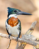 This photograph of a male Amazon Kingfisher was captured in the Pantanal area of Brazil (8/12).  This photograph is protected by the U.S. Copyright Laws and shall not to be downloaded or reproduced by any means without the formal written permission of Ken Conger Photography.