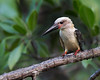 This photograph of a Great-billed Kingfisher was captured in Tangkoko National Park in Sulawesi, Indonesia (5/13).  This photograph is protected by the U.S. Copyright Laws and shall not to be downloaded or reproduced by any means without the formal written permission of Ken Conger Photography.