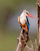 This photograph of a Grey-headed Kingfisher was captured within Samburu National Park in Kenya, Africa (3/13).   This photograph is protected by the U.S. Copyright Laws and shall not to be downloaded or reproduced by any means without the formal written permission of Ken Conger Photography.