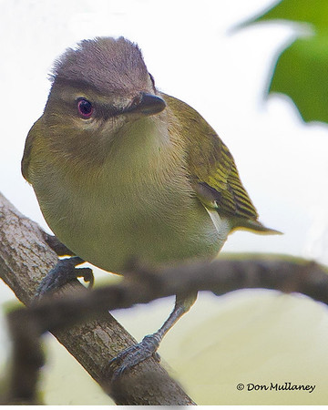 A Red-eyed Vireo -  Lake Hope State Park, Ohio