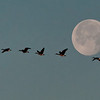 Tundra Swans and Full Moon