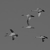 Tundra Swans in Flight B&W