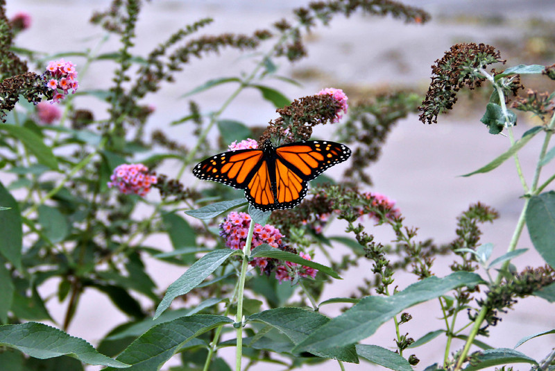 Butterfly, Monarch, butterfly bush, beautiful, Omaha, Nebraska, cannon.