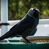 Wandering around Porvoo, Finland - Jackdaw.<br /> 28 Jun 2014
