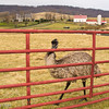 Emu -- Crooked Run Valley Historic District - Virginia<br /> 3 Dec 2012
