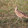 Long-Billed Curlew @ Shields RV Park, NAS Corpus Christi, Texas.<br /> 23 Jul 2014