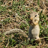 13-lined ground squirrel @ Shields RV Park, NAS Corpus Christi, Texas.<br /> 21 Jul 2014