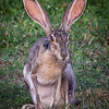 Black-Tailed Jackrabbit @ Shields RV Park, NAS Corpus Christi, Texas.<br /> 21 Jul 2014