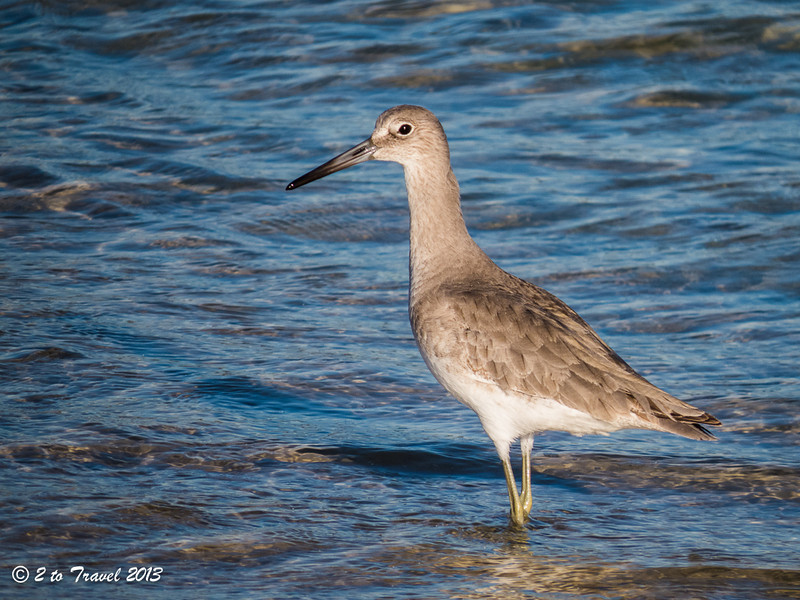 First shorebird photograph of year two of fulltiming is of a Willet on the beach @ Oak Grove Park. 12 Dec 2013.