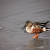 Northern Shoveler<br /> <br /> Walking on thin ice!!
