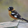 Black Headed Grosbeak (Male)<br /> <br /> I was super excited to have a bunch of these beautiful birds at the feeders!
