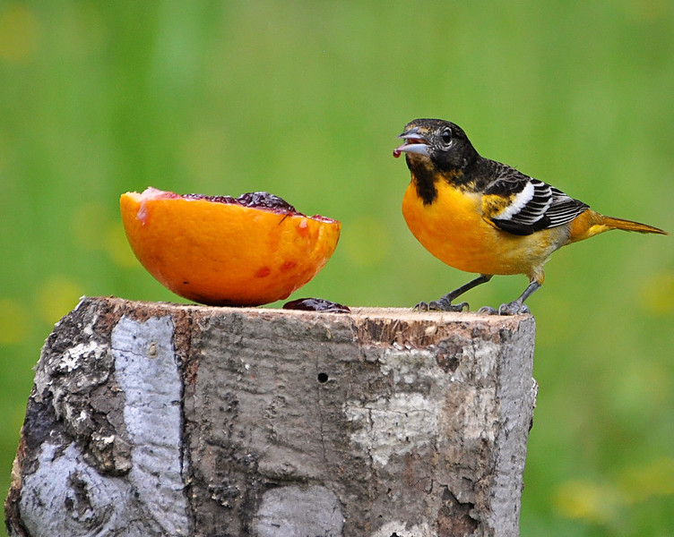 I've been waiting for the orioles to get here and when i got home at lunch..they were everywhere!! I was so excited..I love their color!